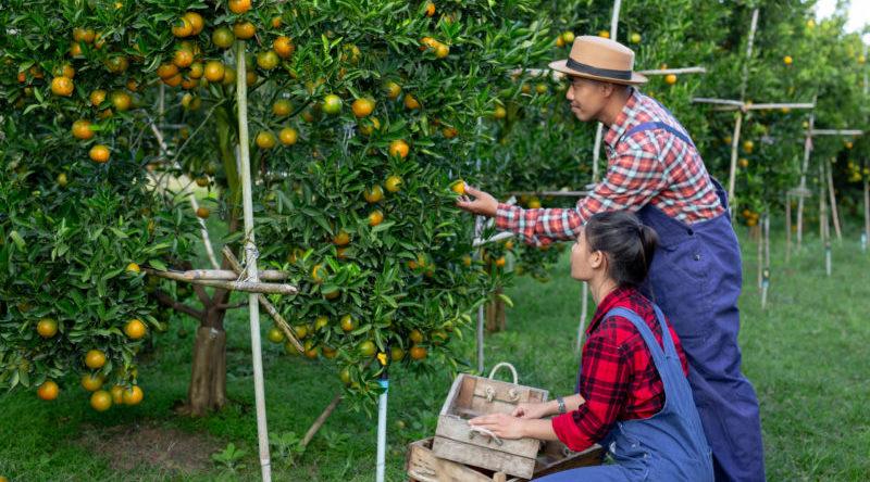 Opção contribuição previdenciária produtor rural